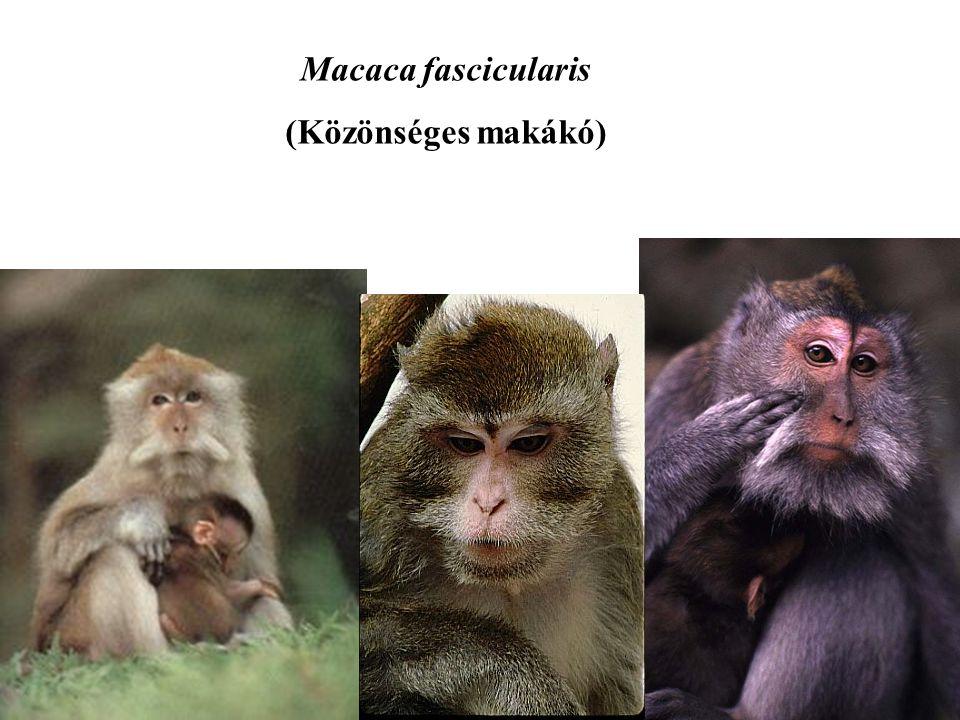 Macaca fascicularis (Közönséges makákó)