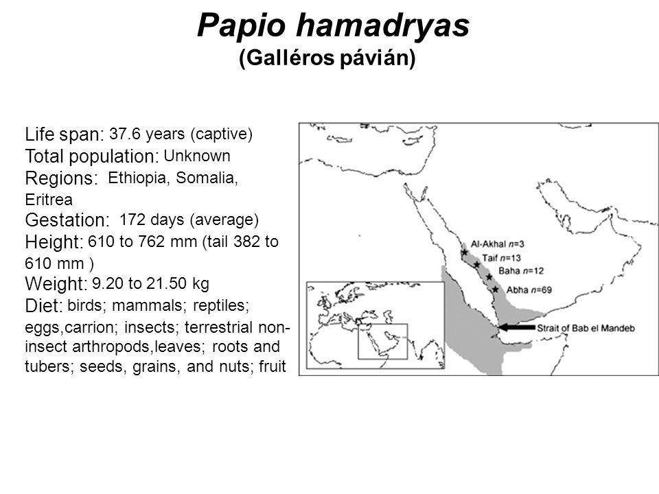 Papio hamadryas (Galléros pávián)