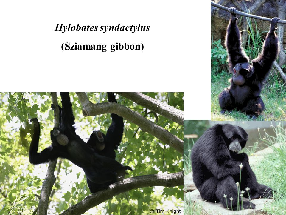 Hylobates syndactylus