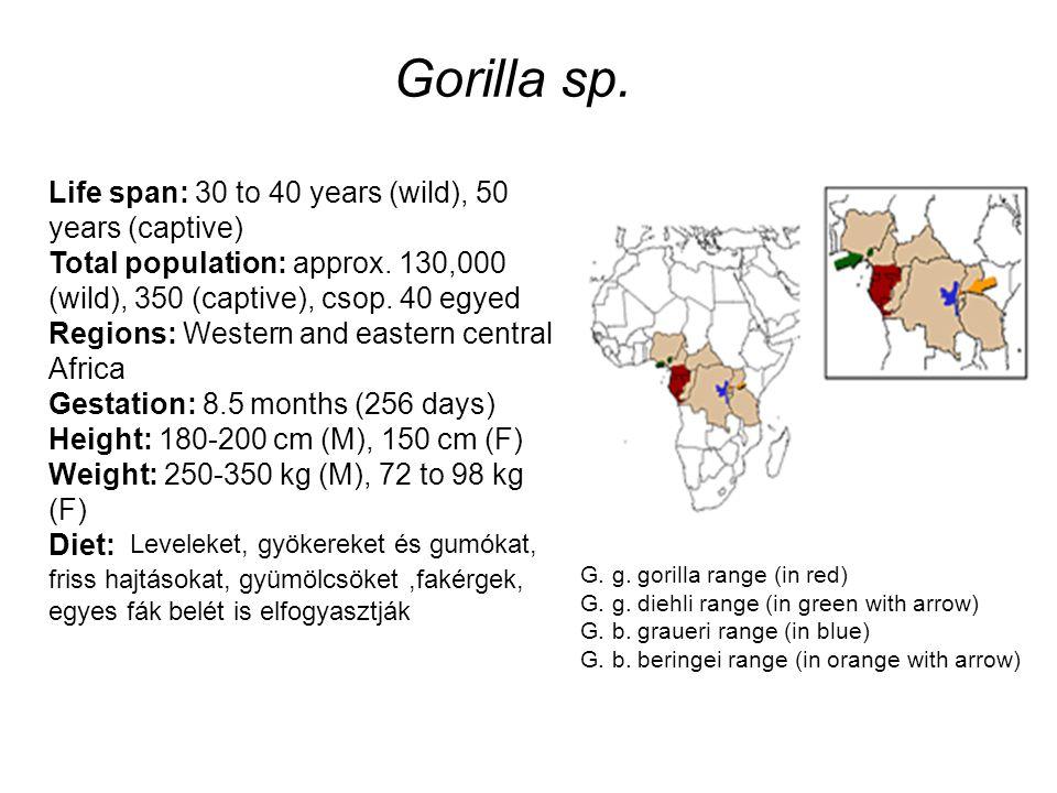 Gorilla sp.