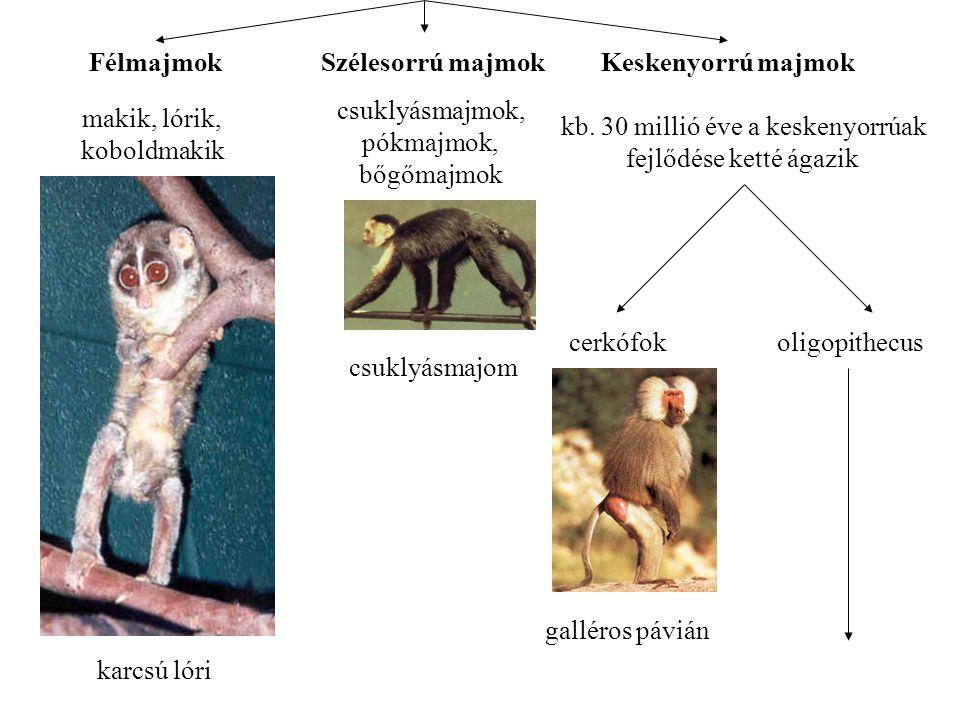 Félmajmok Szélesorrú majmok Keskenyorrú majmok