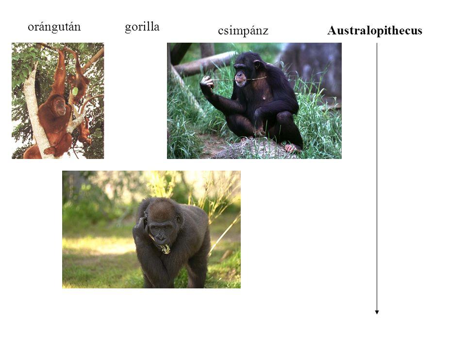 orángután gorilla csimpánz Australopithecus