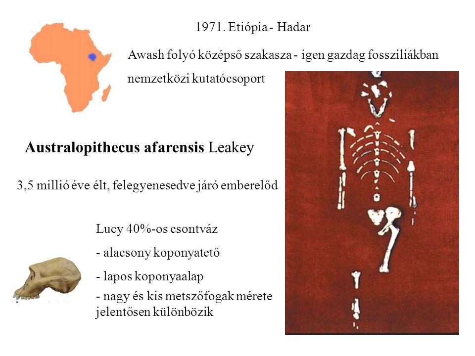 Australopithecus afarensis Leakey