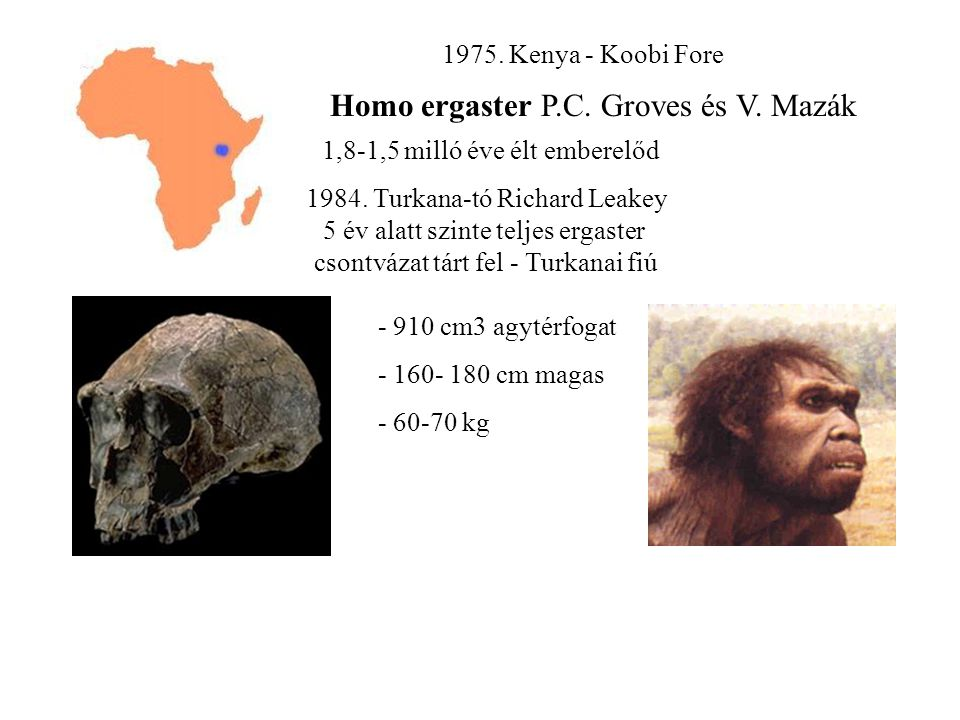 Homo ergaster P.C. Groves és V. Mazák