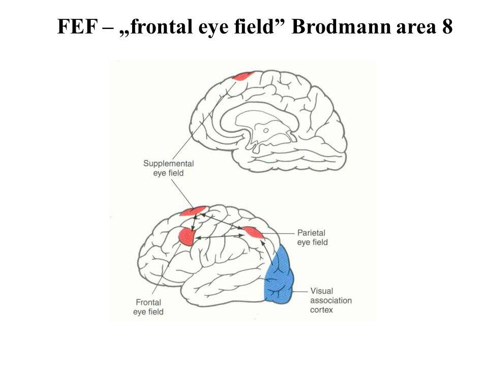 """FEF – """"frontal eye field Brodmann area 8"""