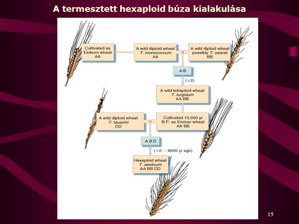A termesztett hexaploid búza kialakulása