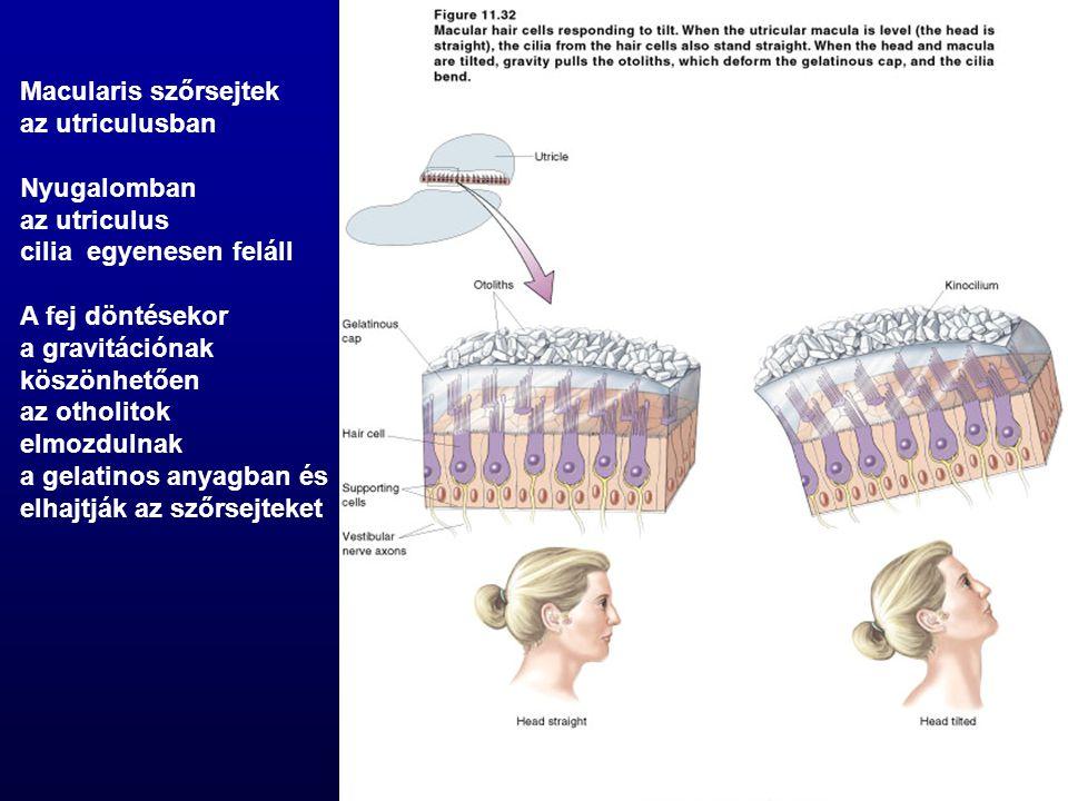 Macularis szőrsejtek az utriculusban. Nyugalomban. az utriculus. cilia egyenesen feláll. A fej döntésekor.