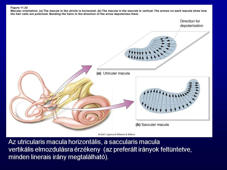 Az utricularis macula horizontális, a saccularis macula