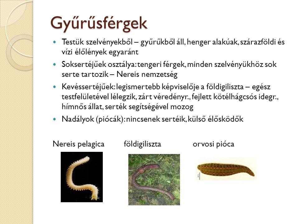 Gyűrűsférgek Testük szelvényekből – gyűrűkből áll, henger alakúak, szárazföldi és vízi élőlények egyaránt.