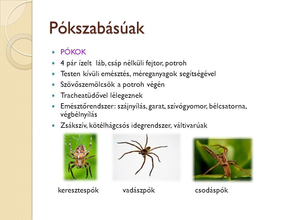 Pókszabásúak PÓKOK 4 pár ízelt láb, csáp nélküli fejtor, potroh