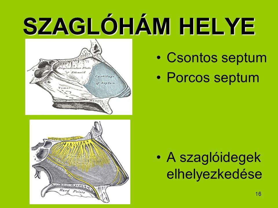 SZAGLÓHÁM HELYE Csontos septum Porcos septum