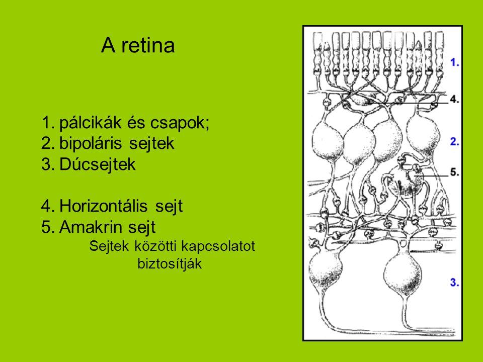 A retina pálcikák és csapok; bipoláris sejtek Dúcsejtek