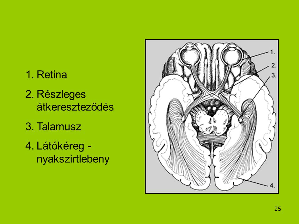 Retina Részleges átkereszteződés Talamusz Látókéreg - nyakszirtlebeny