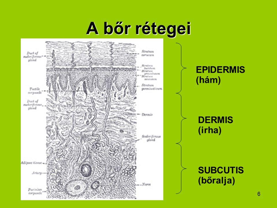 A bőr rétegei EPIDERMIS (hám) DERMIS (irha) SUBCUTIS (bőralja)