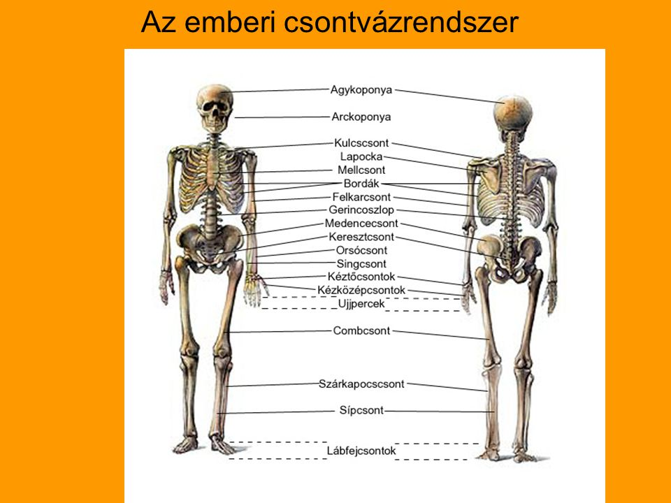 Az emberi csontvázrendszer