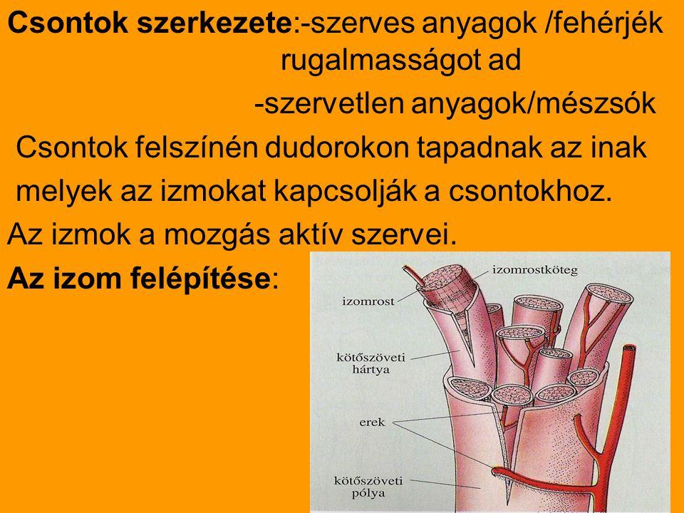 Csontok szerkezete:-szerves anyagok /fehérjék rugalmasságot ad