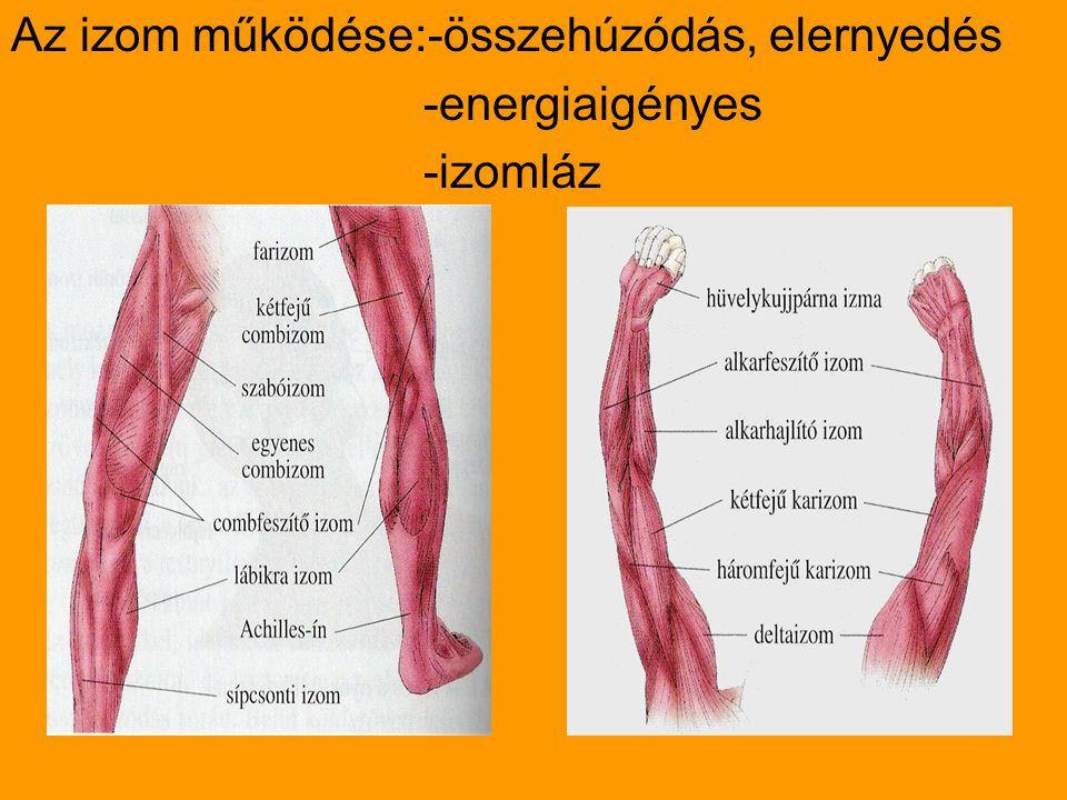 Az izom működése:-összehúzódás, elernyedés