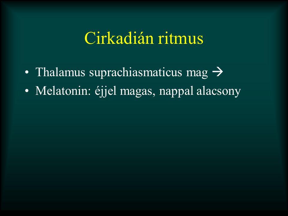 Cirkadián ritmus Thalamus suprachiasmaticus mag 