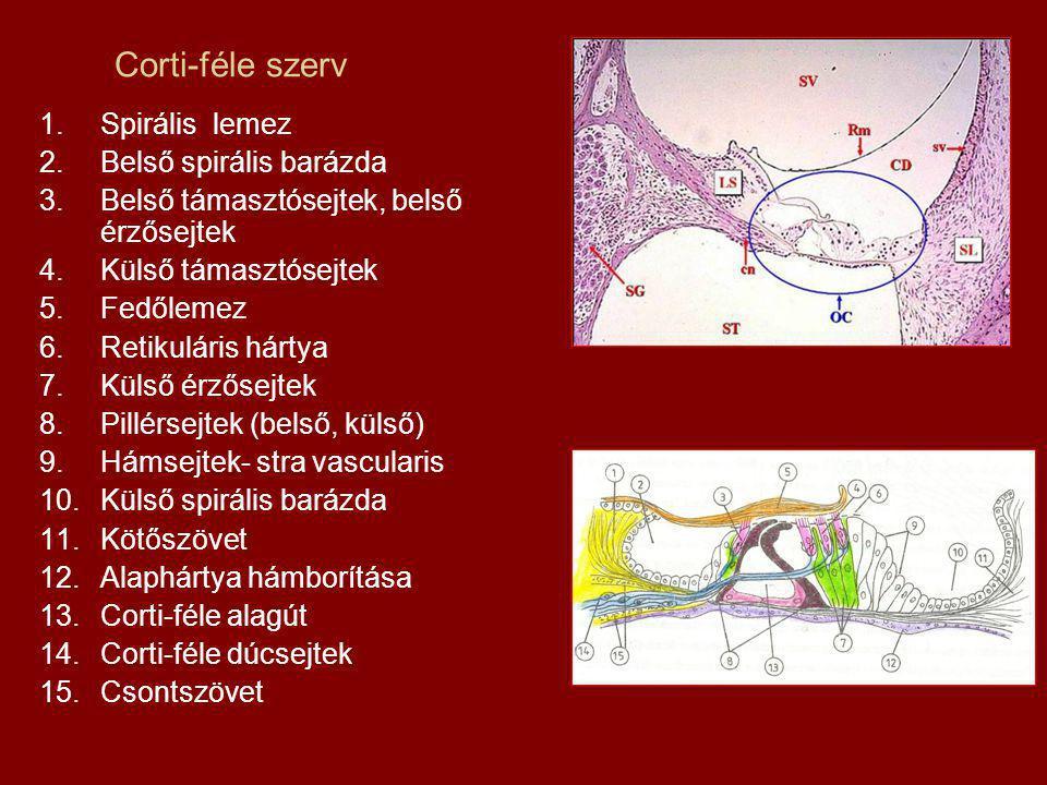 Corti-féle szerv Spirális lemez Belső spirális barázda