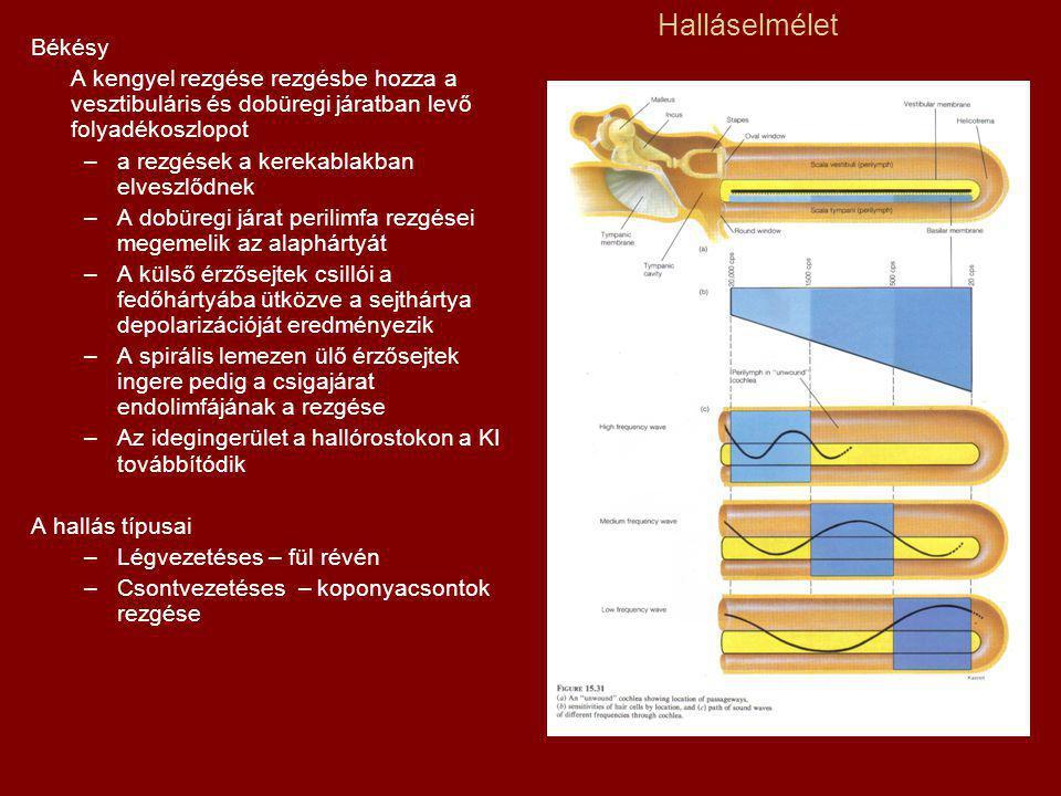 Halláselmélet Békésy. A kengyel rezgése rezgésbe hozza a vesztibuláris és dobüregi járatban levő folyadékoszlopot.