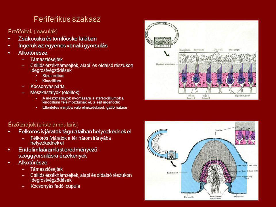 Periferikus szakasz Érzőfoltok (maculák)