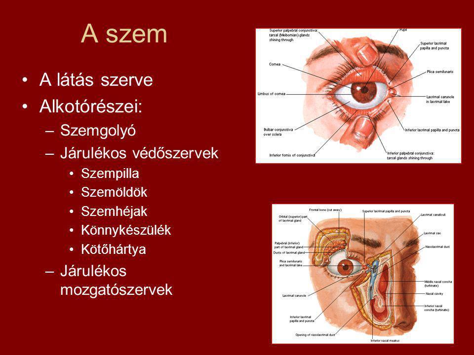 A szem A látás szerve Alkotórészei: Szemgolyó Járulékos védőszervek