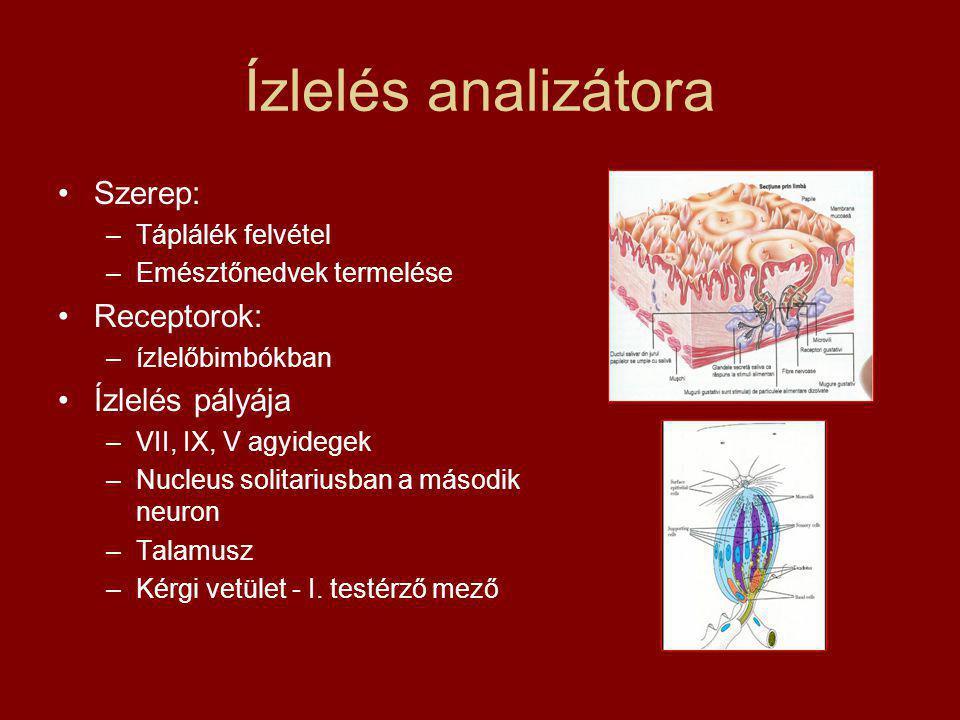 Ízlelés analizátora Szerep: Receptorok: Ízlelés pályája