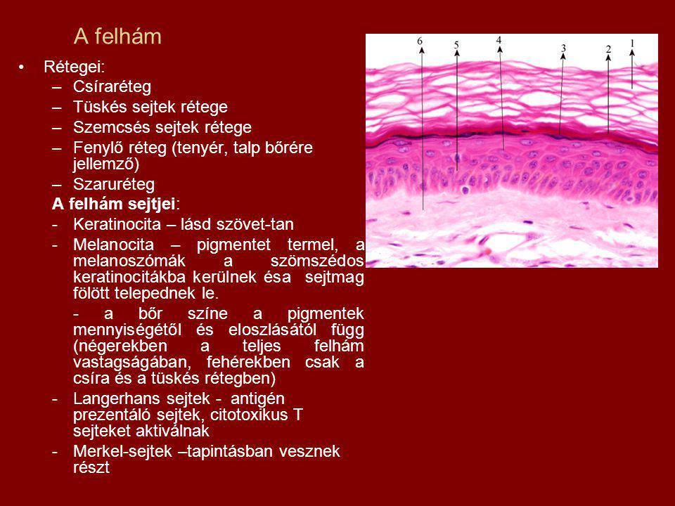 A felhám Rétegei: Csíraréteg Tüskés sejtek rétege