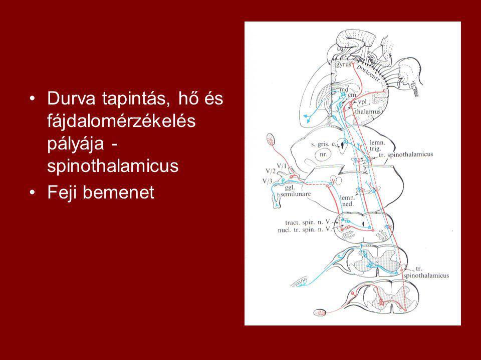 Durva tapintás, hő és fájdalomérzékelés pályája - spinothalamicus