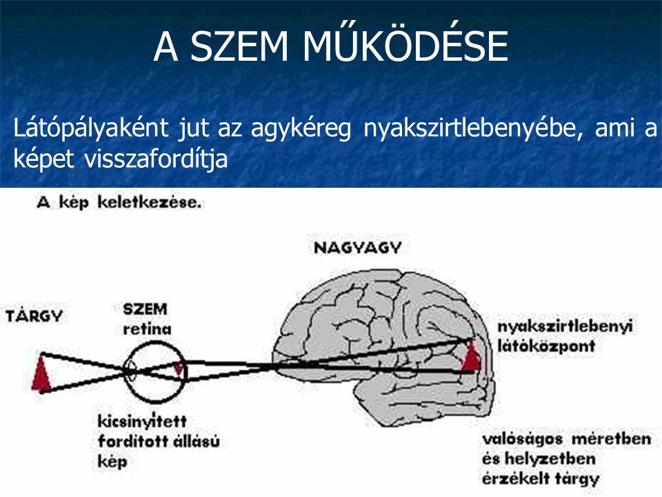 A SZEM MŰKÖDÉSE Látópályaként jut az agykéreg nyakszirtlebenyébe, ami a képet visszafordítja