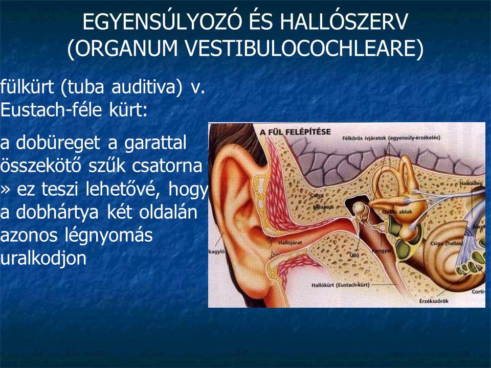 EGYENSÚLYOZÓ ÉS HALLÓSZERV (ORGANUM VESTIBULOCOCHLEARE)