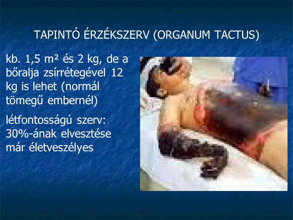 TAPINTÓ ÉRZÉKSZERV (ORGANUM TACTUS)