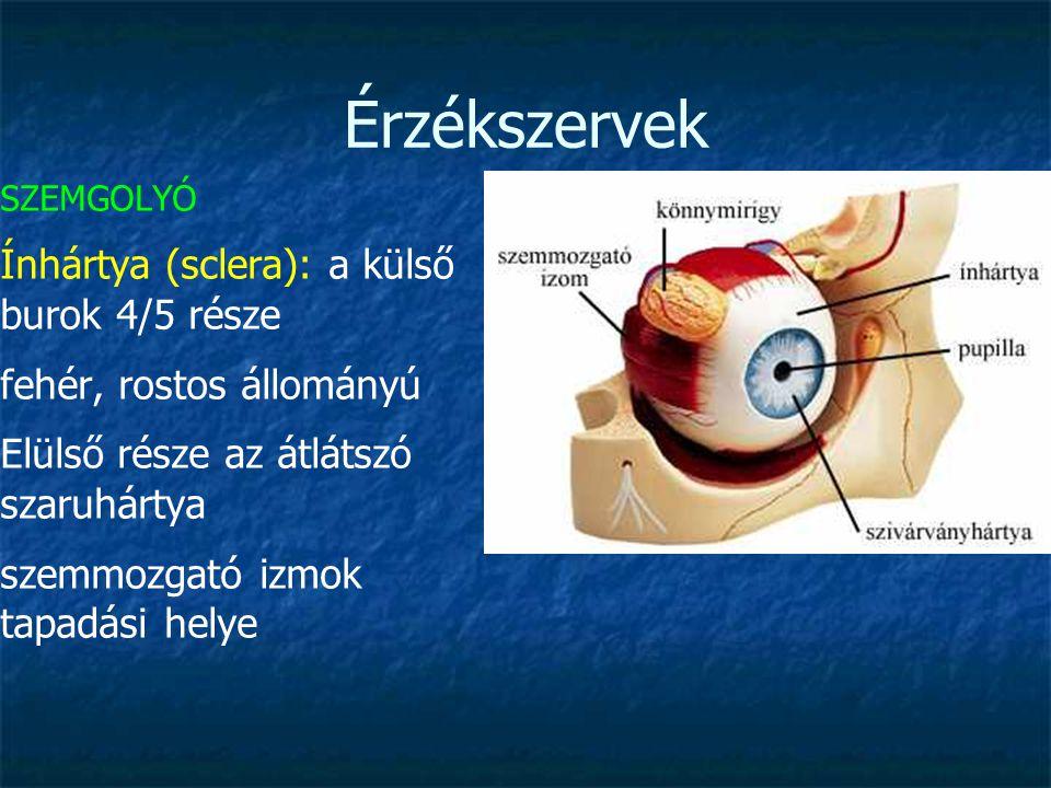 Érzékszervek Ínhártya (sclera): a külső burok 4/5 része