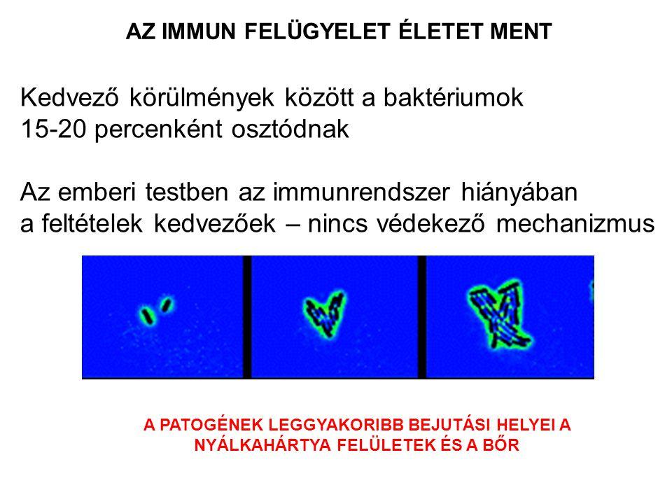Kedvező körülmények között a baktériumok 15-20 percenként osztódnak