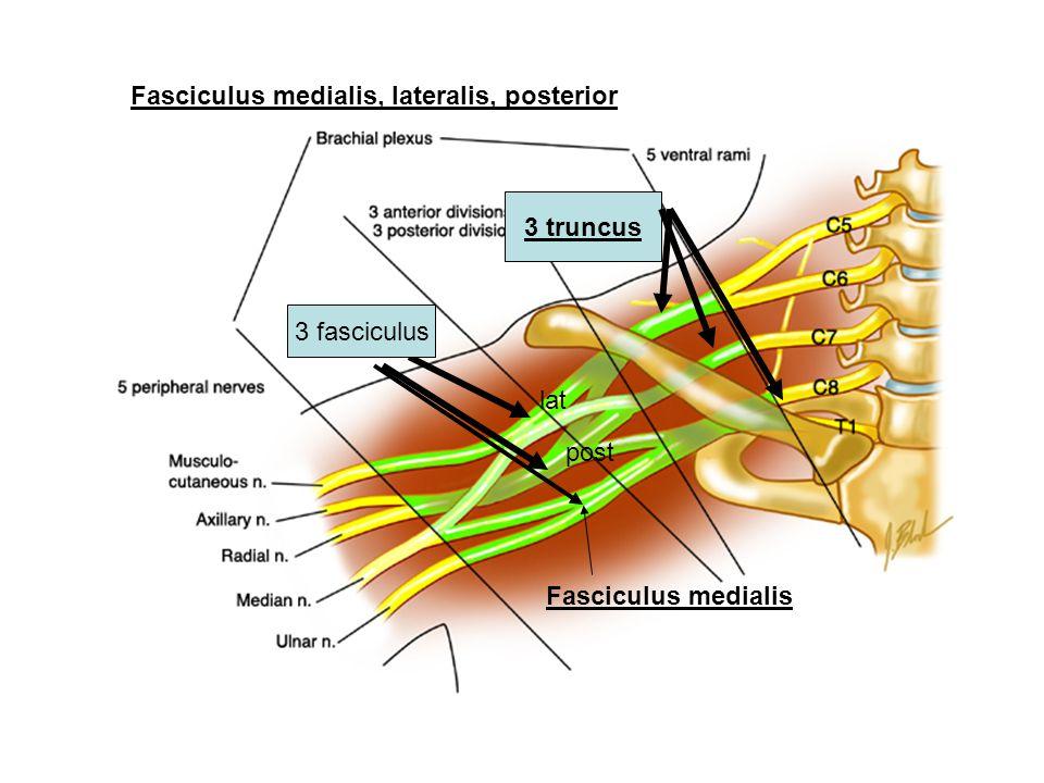 Fasciculus medialis, lateralis, posterior