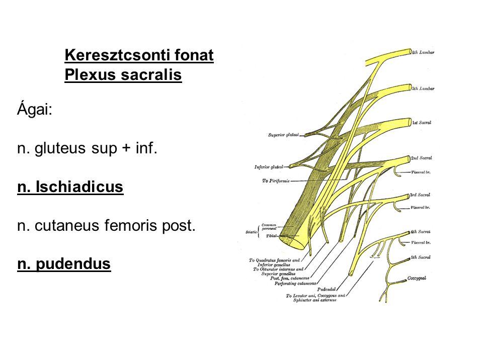 Keresztcsonti fonat Plexus sacralis. Ágai: n. gluteus sup + inf. n. Ischiadicus. n. cutaneus femoris post.