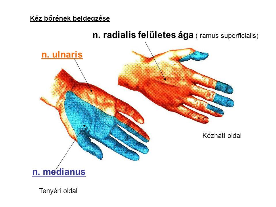 n. radialis felületes ága ( ramus superficialis)