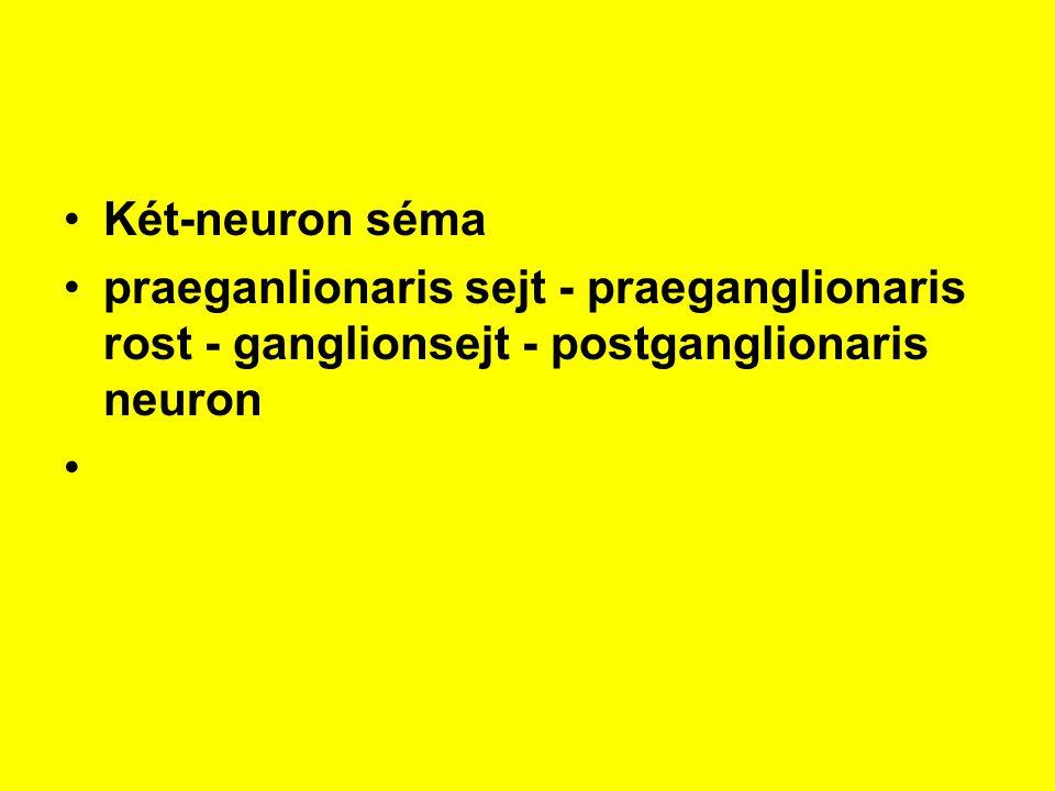 Két-neuron séma praeganlionaris sejt - praeganglionaris rost - ganglionsejt - postganglionaris neuron.