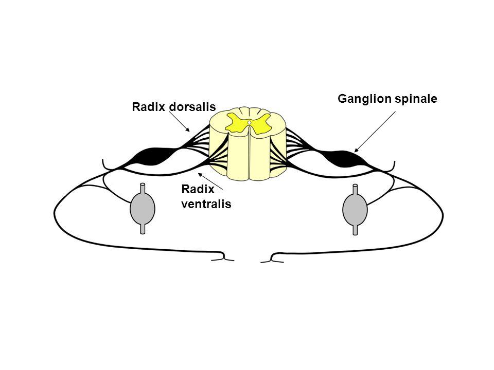 Ganglion spinale Radix dorsalis Radix ventralis