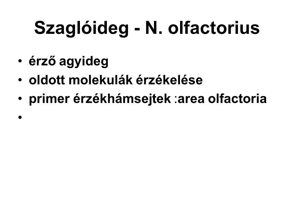 Szaglóideg - N. olfactorius