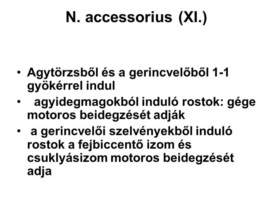 N. accessorius (XI.) Agytörzsből és a gerincvelőből 1-1 gyökérrel indul. agyidegmagokból induló rostok: gége motoros beidegzését adják.