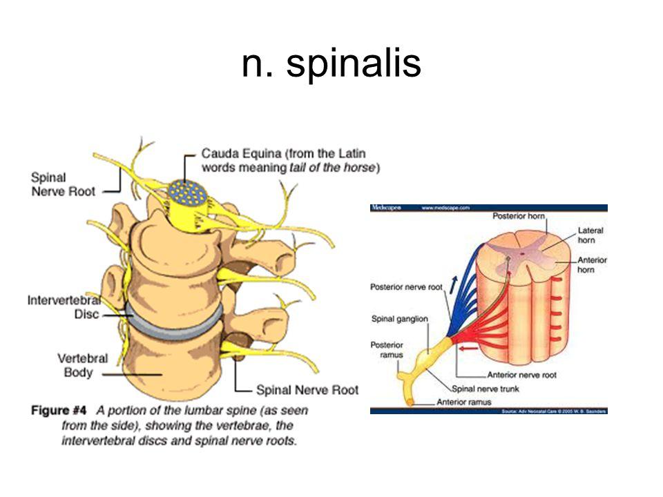 n. spinalis