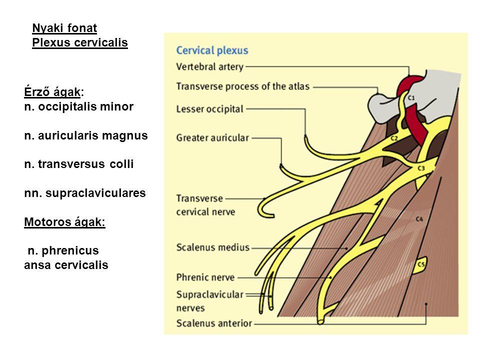 Nyaki fonat Plexus cervicalis. Érző ágak: n. occipitalis minor. n. auricularis magnus. n. transversus colli.