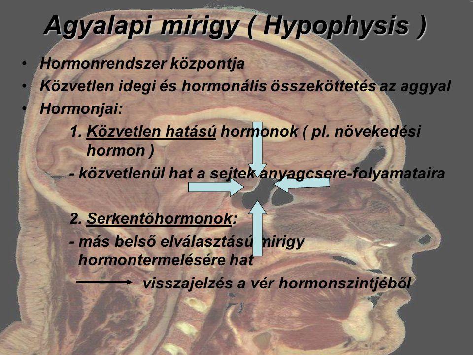 Agyalapi mirigy ( Hypophysis )