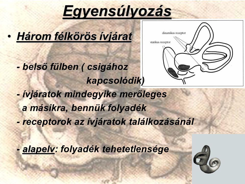 Egyensúlyozás Három félkörös ívjárat - belső fülben ( csigához