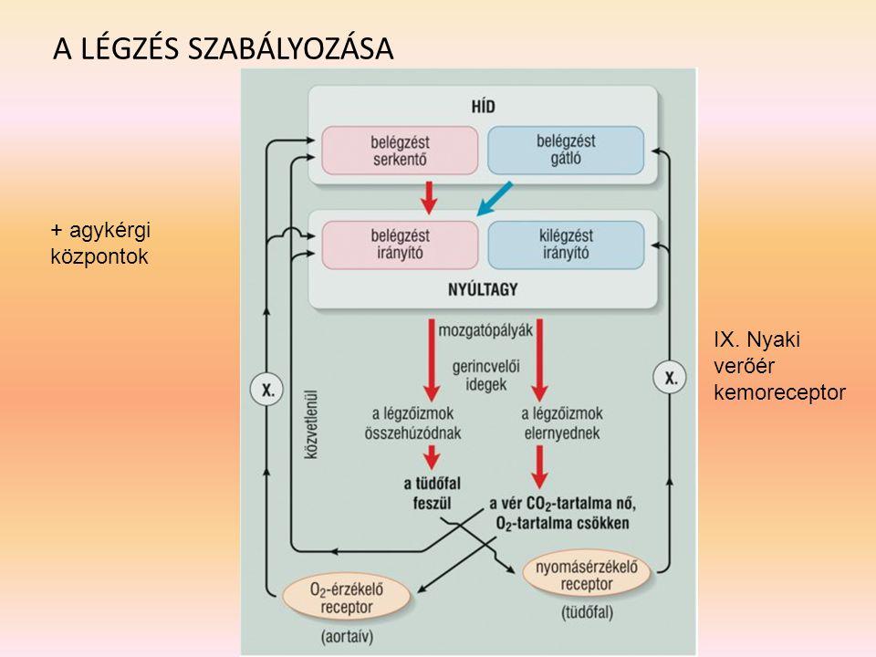 A LÉGZÉS SZABÁLYOZÁSA + agykérgi központok