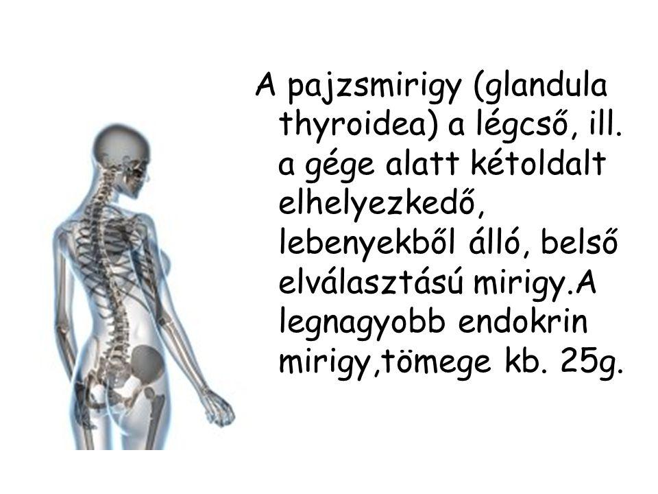 A pajzsmirigy (glandula thyroidea) a légcső, ill