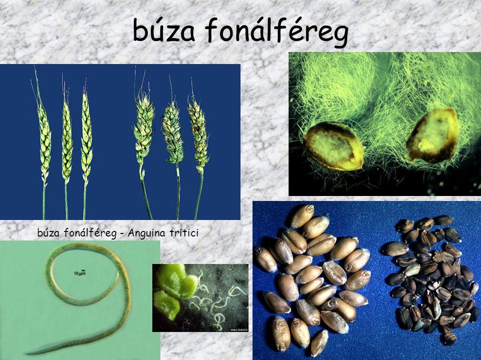 búza fonálféreg búza fonálféreg - Anguina tritici