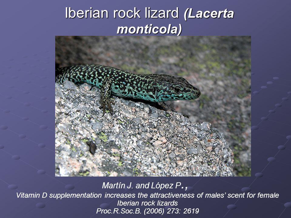 Iberian rock lizard (Lacerta monticola)