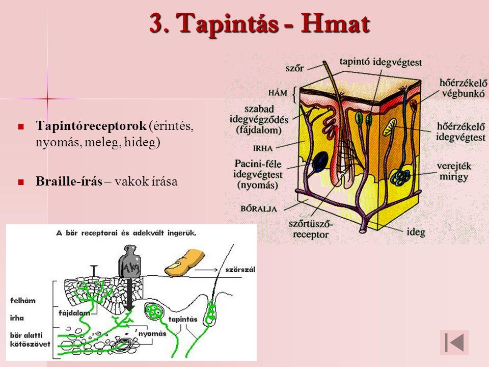 3. Tapintás - Hmat Tapintóreceptorok (érintés, nyomás, meleg, hideg)